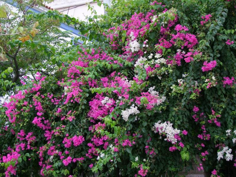 Flowers, Skiathos Island
