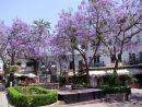 Lilac Trees, Marbella