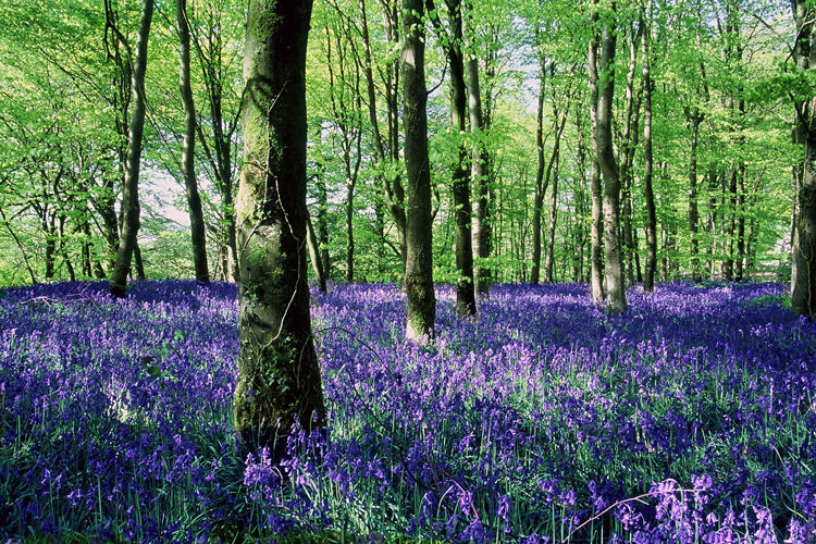 Bluebell Wood - Pumpsaint, Carmarthenshire.
