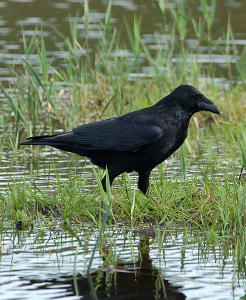 Carrion Crow 001