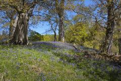 Bluebells- Dinefwr Park