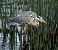 Grey Heron 002