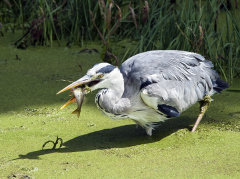 Grey Heron 001