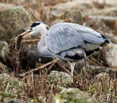 Grey Heron 016