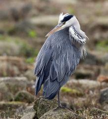 Grey Heron 015