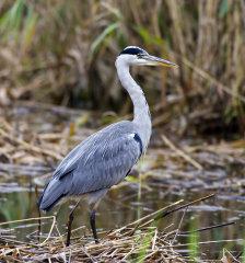 Grey Heron 012