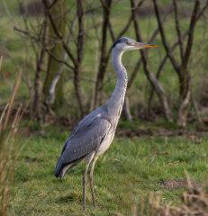 Grey Heron 019