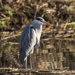 Grey Heron 018