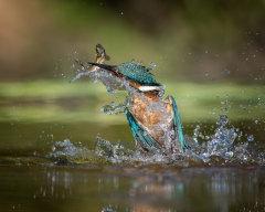 Kingfisher 032