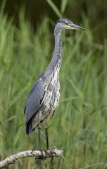 Grey Heron 020