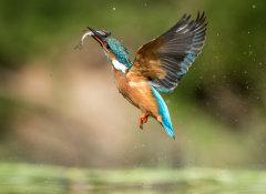 Kingfisher 033