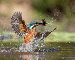 Kingfisher 034