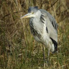 Grey Heron 024