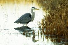Grey Heron 023
