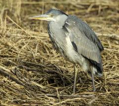 Grey Heron 025