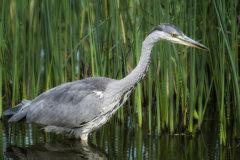 Grey Heron 021