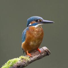 Kingfisher 008