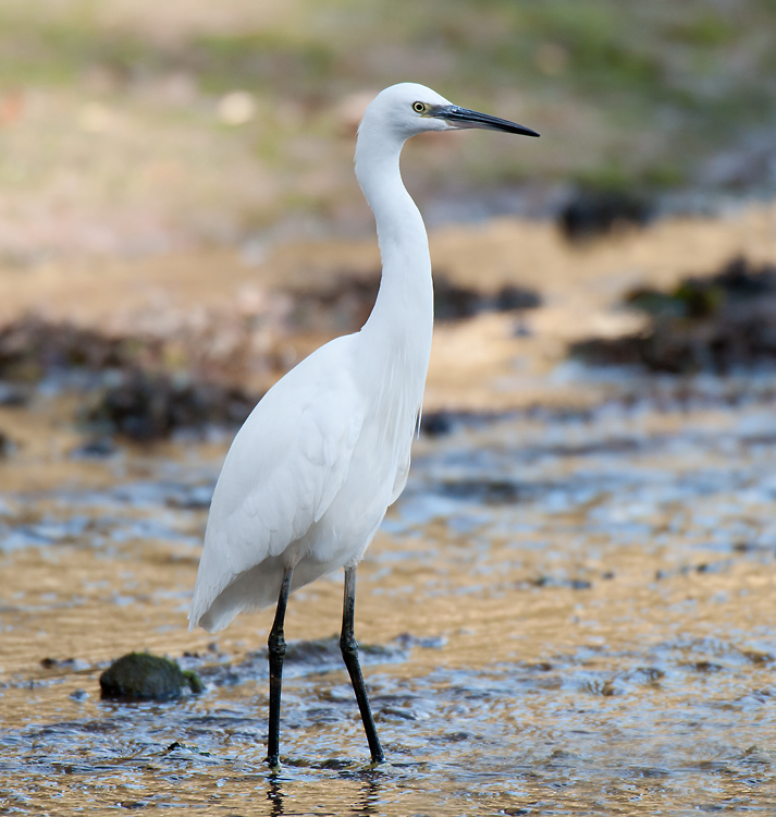 Little Egret 009