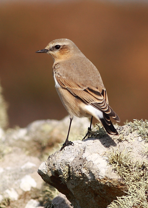 Northern Wheatear 006