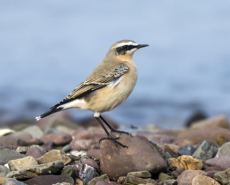 Northern Wheatear 023