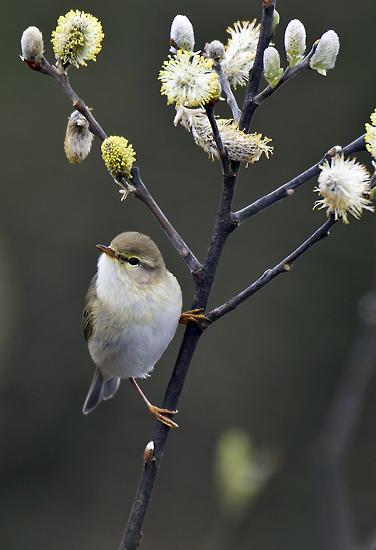 Willow Warbler 004