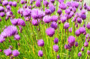 Dancing Chives