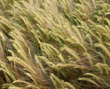 'The hanging heads of barley'