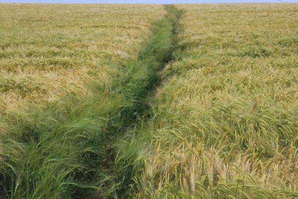 Footpath through the barley to Port Isaac