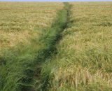 Footpath through the barley to Port Isaac