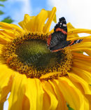 Sunflower and Butterfly 1