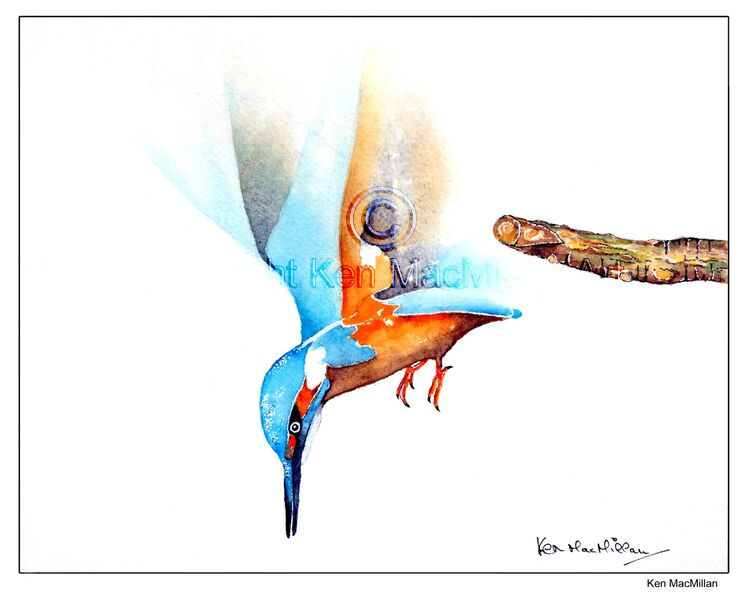 Pen, ink and watercolour of Kingfisher in flight.