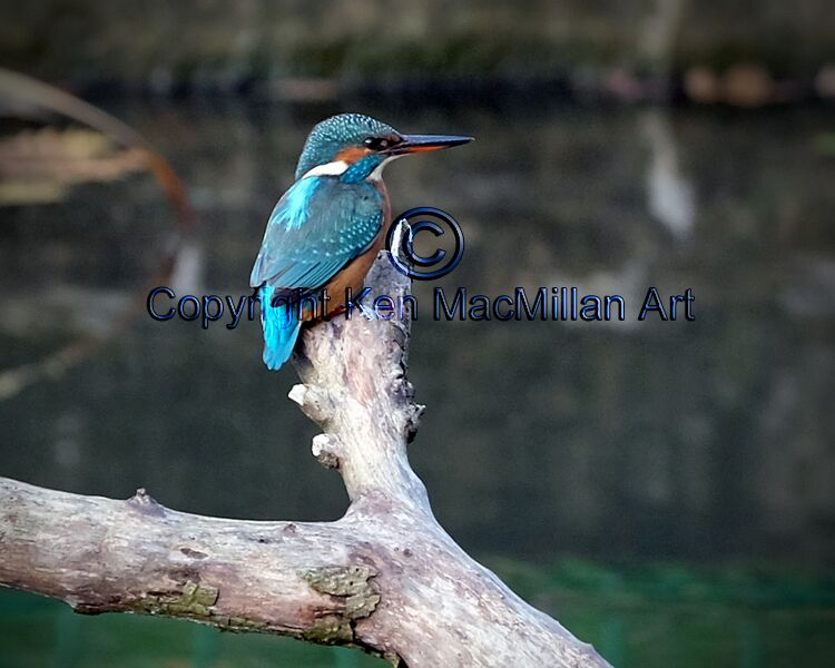 Kingfisher at rest.