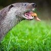 Otter eating 2