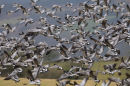 Mass fly by of Barnacle Geese