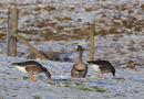 Greenland white-fronted Geese feeding