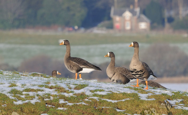 Small group of Greenland white-fronted Geese