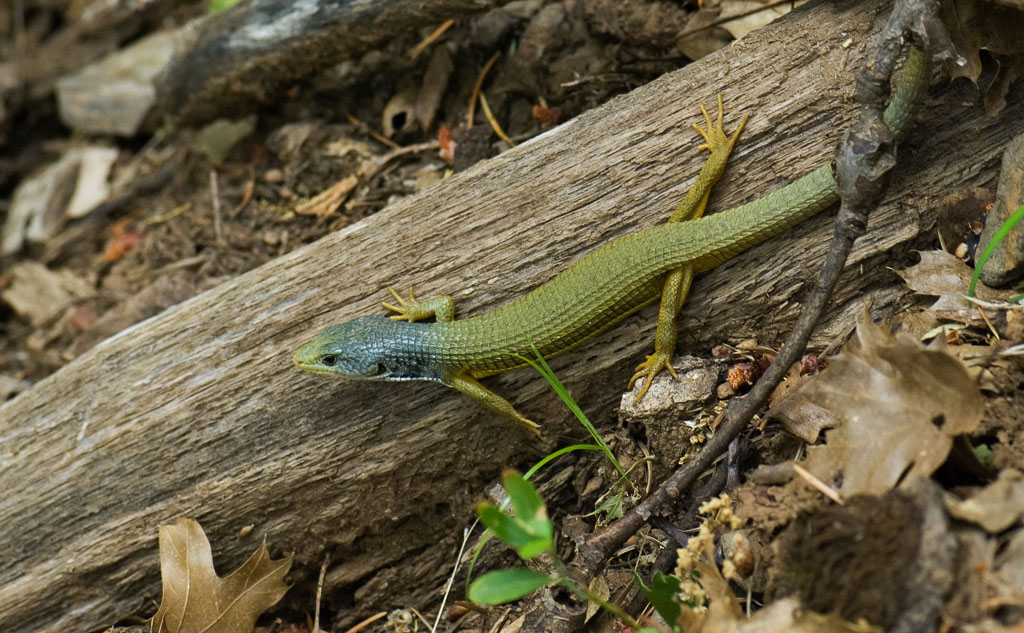 Alligator Lizard new skin