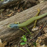 Alligator Lizard new skin