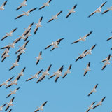 American White Pelicans flock in flight
