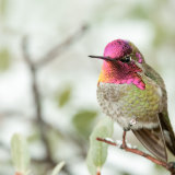 Anna's Hummingbird full color head and throat