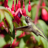 Anna's Hummingbird in fuchia