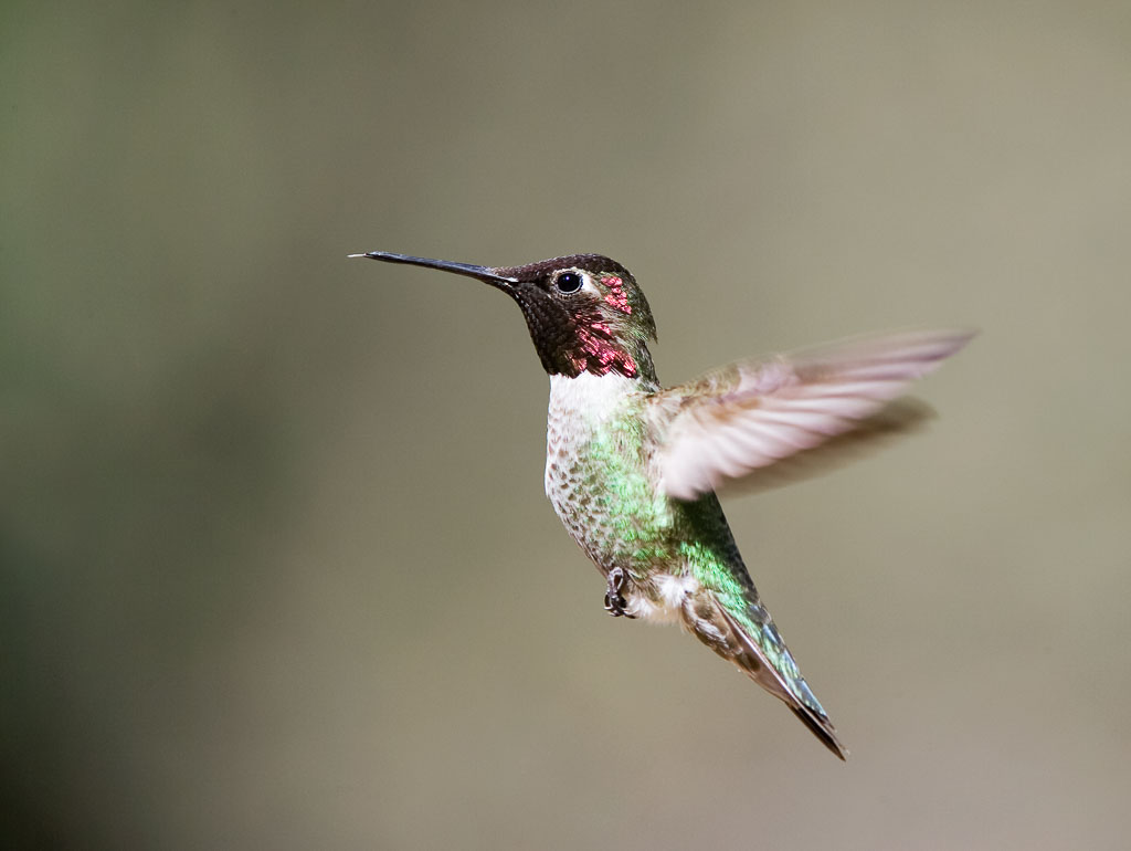 Anna's Hummingbird male in flight