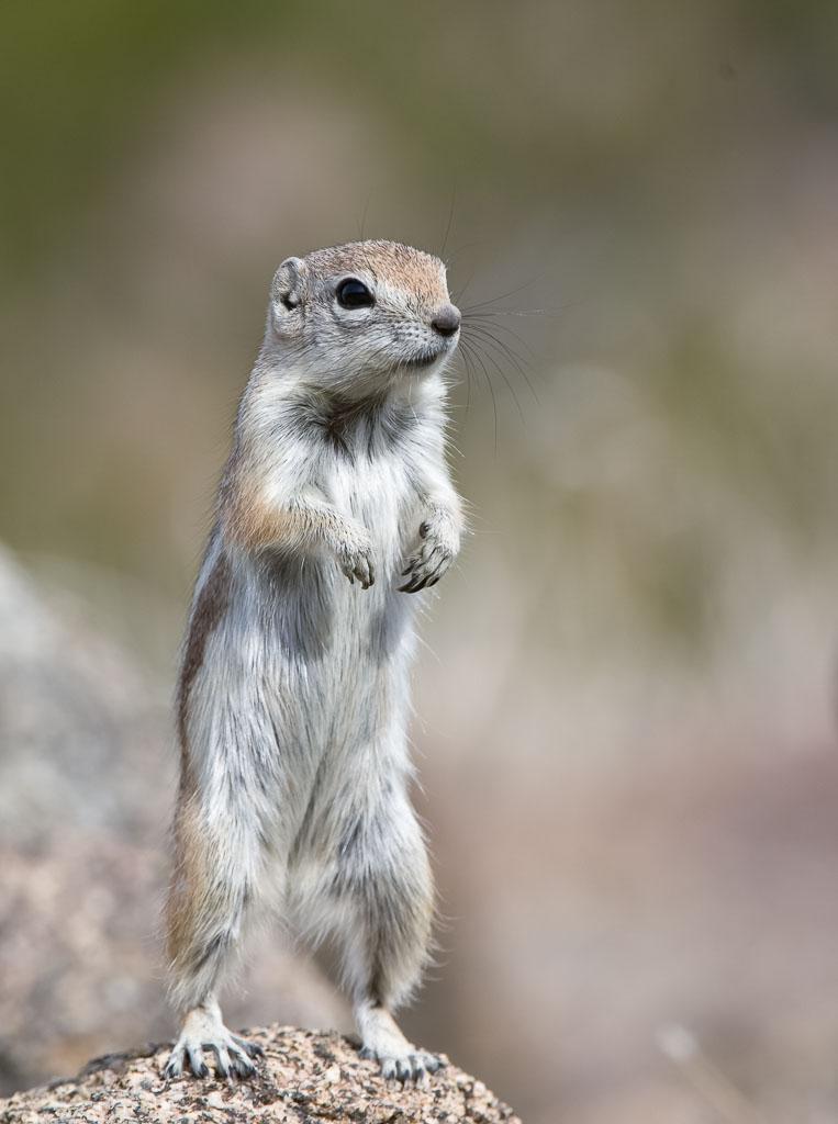 Antelope Squirrel Female standing