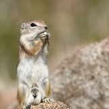 Antelope Squirrel Male standing