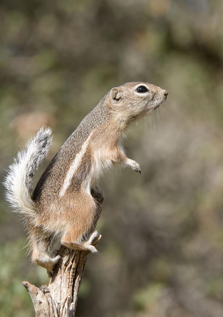 Antelope Squirrel on tree stump