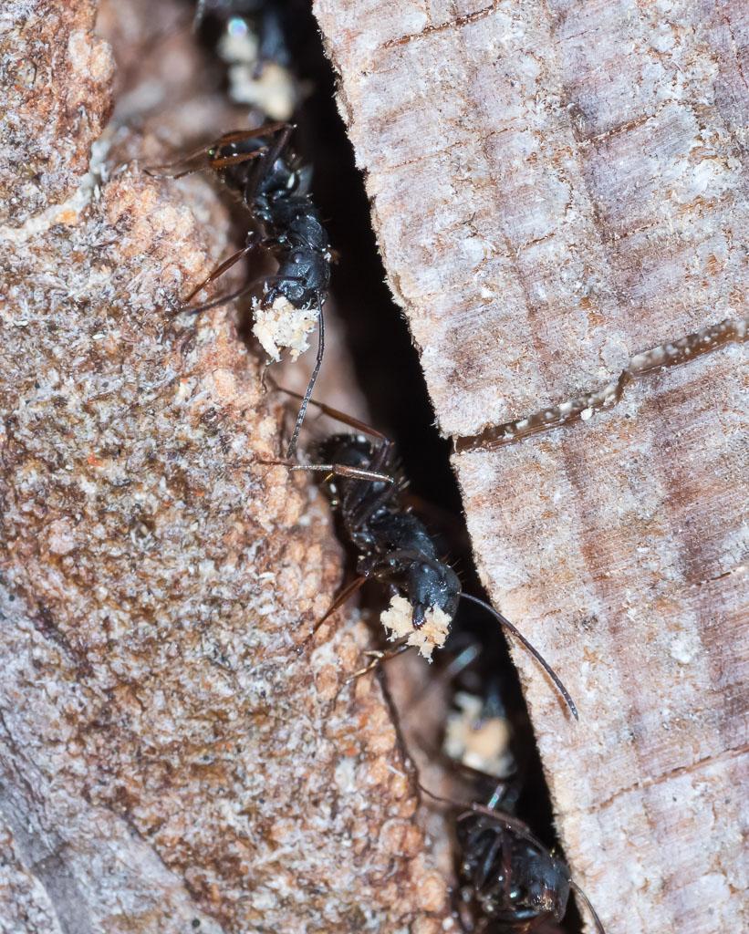 Ants depositing waste excavated wood-2