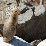 Arctic-ground Squirrel