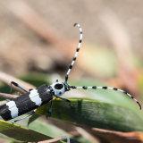 Banded Alder Borer Beetle-2
