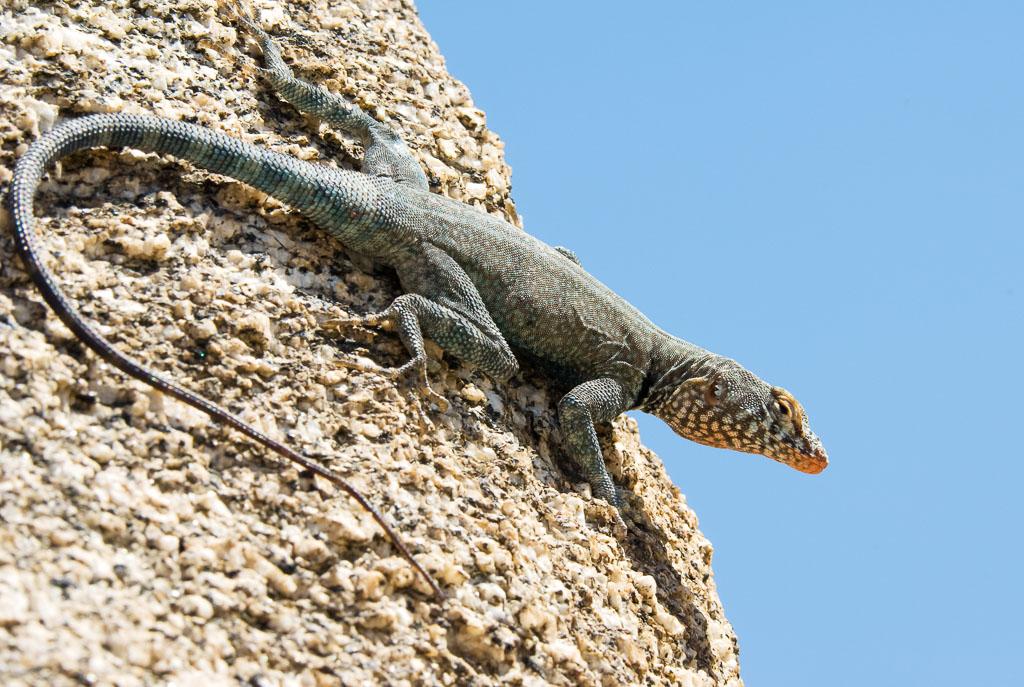 Banded Rock Lizard against sky