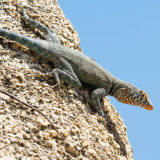 Banded Rock Lizard against sky